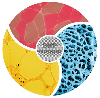 BMPs and their antagonists control osteogenesis, myogenesis and adipogenesis