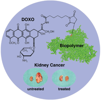 Doxorubicin-biopolymer conjugate for cancer Therapy