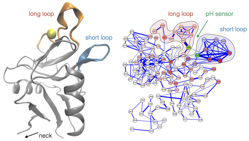 Allosteric network of C-type lectin Langerin
